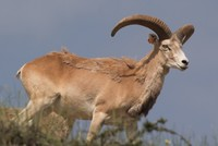 Anatolian gazelles breed under protection