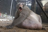 Thailand's morbidly obese monkey on diet after gorging on junk food