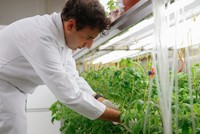 Scientifically altered tomato seeds resist drought, salty soil
