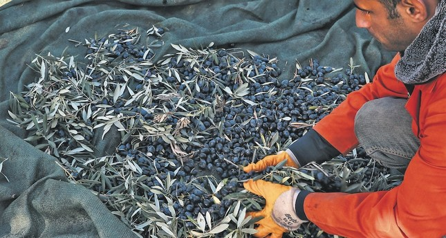 Prisoners at the Foça Open Prison in İzmir keep busy by extracting oil from olives grown both in the prison yard and the surrounding region.