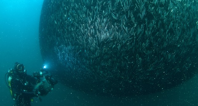 Turkish anchovies captured in rare photo shoot in native habitat