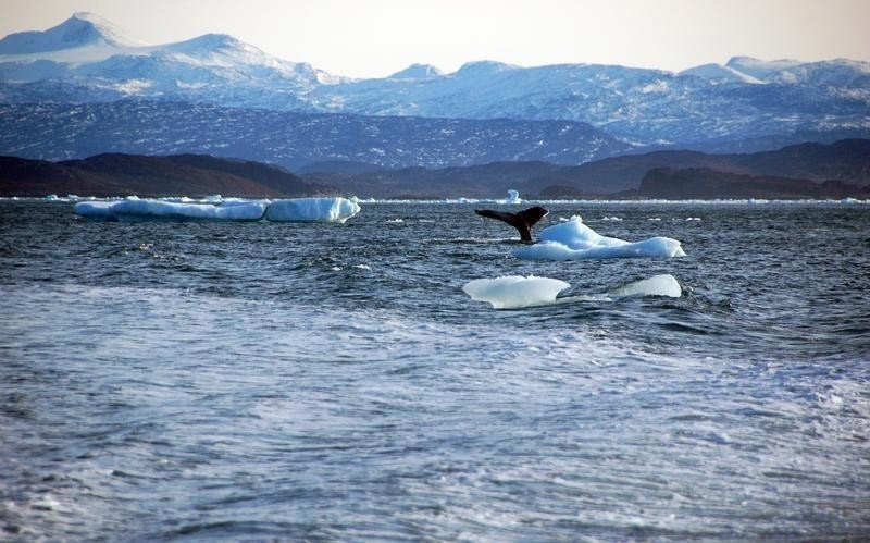 A whale dives into sea off the coast of Greenland's capital Nuuk October 17, 2012. (Reuters Photo)
