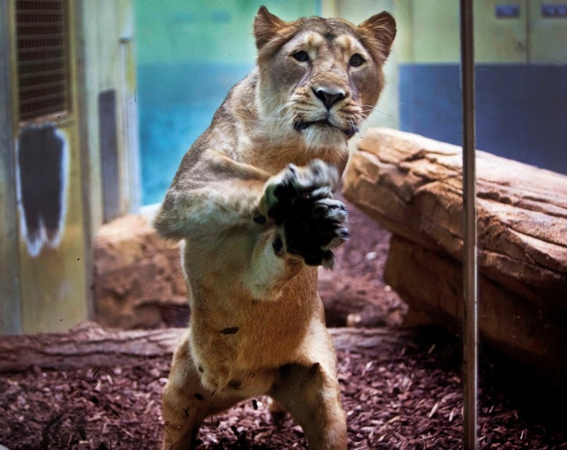 A lion mother jumps against the window of her enclosure to protect her babies against visitors at the zoo in Frankfurt, Germany, Wednesday, May 30, 2018 (AP Photo)