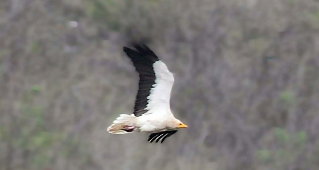 Egyptian vulture flies in Amasya skies.
