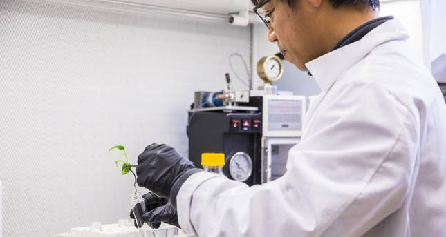 Genetically modified ivy removes carcinogens from air