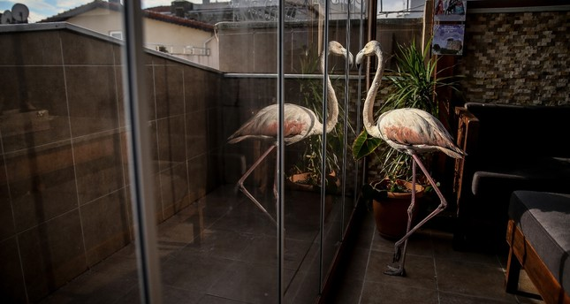 Rescued flamingo continue its recovery at Tüydeş's house.