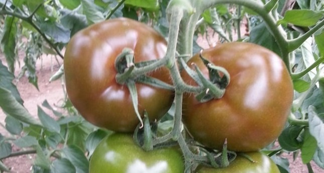 """""""Eto'o"""" tomatoes are very long-lasting, just like the 36-years-old Cameroonian who has had a long successful career."""