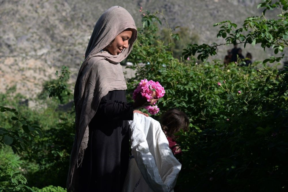 An Afghan farmer harvests rose petals in a rose garden near Jalalabad.