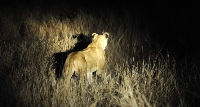 In this July 19, 2011 file photo, a lioness stands in the light after a night patrol exercise with the South African National Defence Force (SANDF) company against poachers in the Kruger National Park. (AFP Photo)