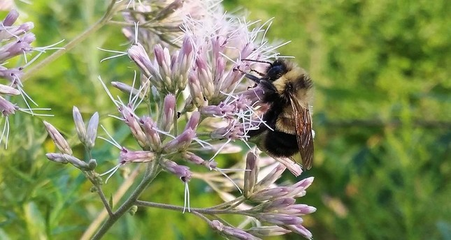 Bumble bees recommended for endangered species list