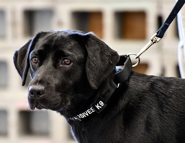 In this image provided by the CIA, young detector dog Lulu, during her initial training as a bomb detector dog AP Photo