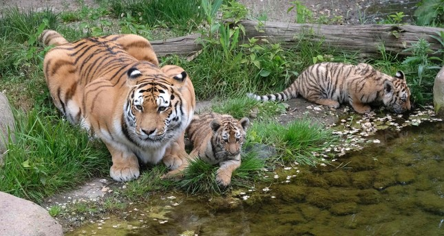 Female zookeeper killed by Tiger at zoo in England
