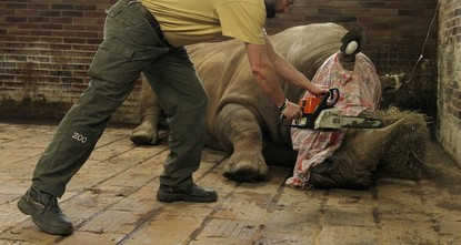 pA zoo in the Czech Republic is removing the horns from its 21 rhinoceroses as a precaution after the killing of a rhino at a wildlife park near Paris by assailants who wanted the animal's...