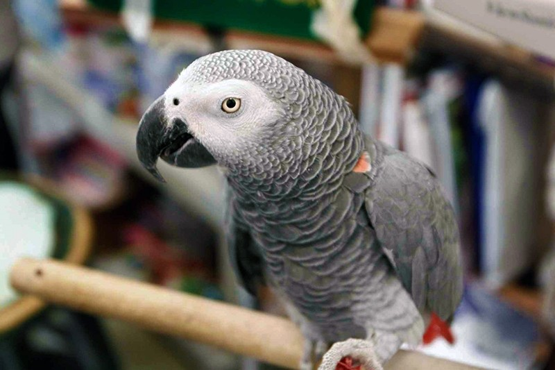African Grey parrots have been assessed as the world's cleverest creature. (AP Photo)