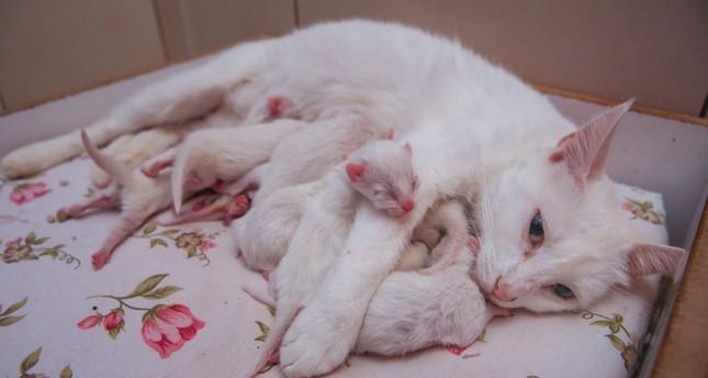 Nazlı, the Van Cat, feeds her babies.