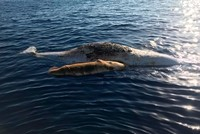 Mother sperm whale and baby dead in fishing net in the Tyrrhenian Sea off Italy