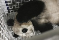 Three giant pandas born and raised in Japan have returned to China under a standard agreement to improve the breeding success of the rare animals.  The 6-year-old twins and their 4-year-old...