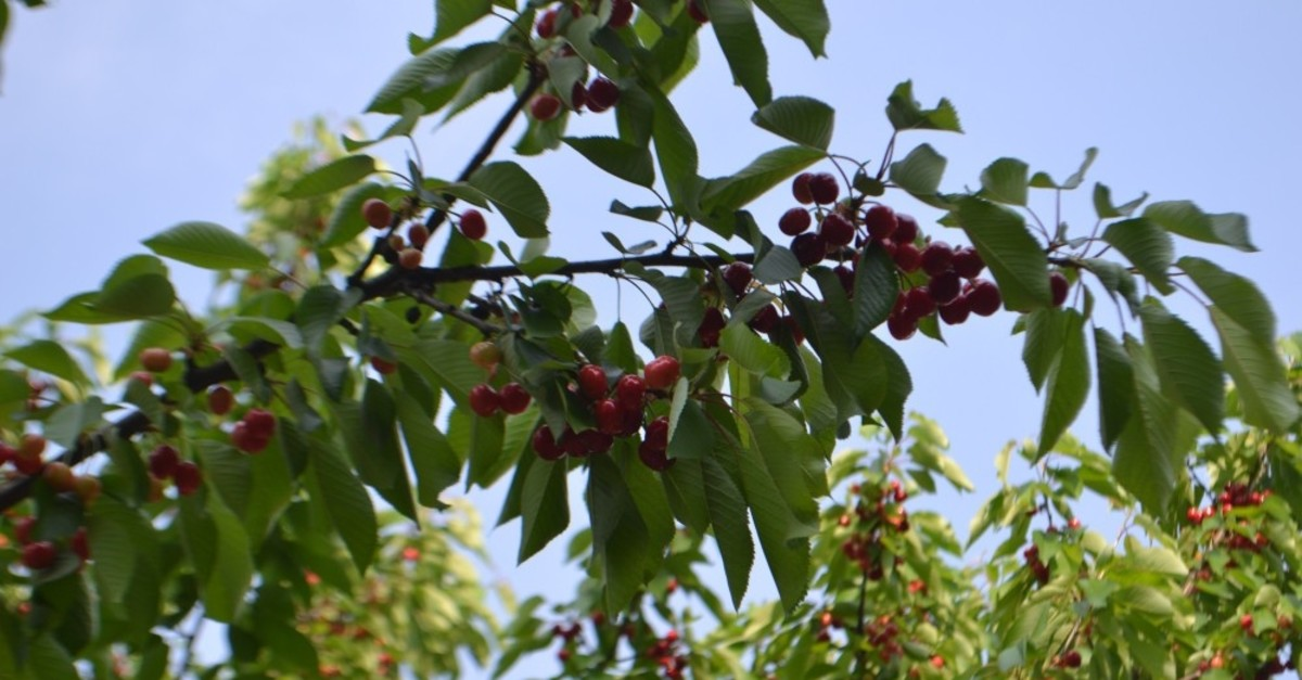 As part of an agreement signed with South Korean authorities, Turkish agircultures will send 8,000 tons of cherries to the Far East nation this year.