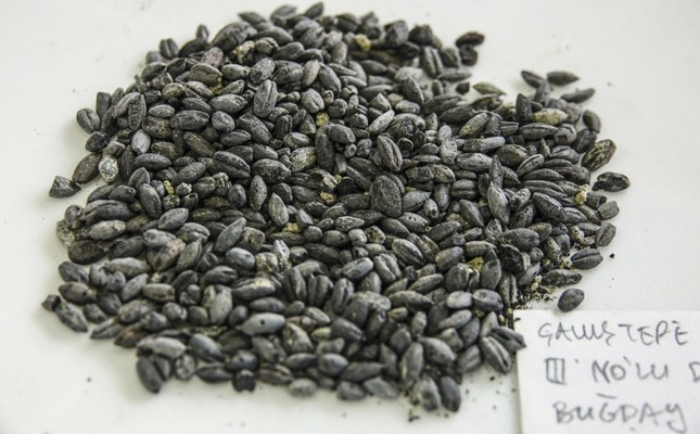 2,800-year-old seeds found in Turkey to be replanted