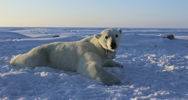 In this April 15, 2015 photo provided by the United States Geological Survey, a polar bear wearing a GPS video-camera collar lies on a chunk of sea ice in the Beaufort Sea. (AP Photo)