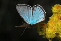 الفراشة الزرقاء متعددة العيون