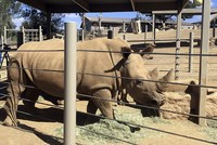 White rhino in US zoo pregnant, giving hope for survival of subspecies