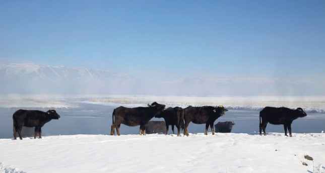 Eastern Anatolia's water buffaloes battle harsh winter conditions