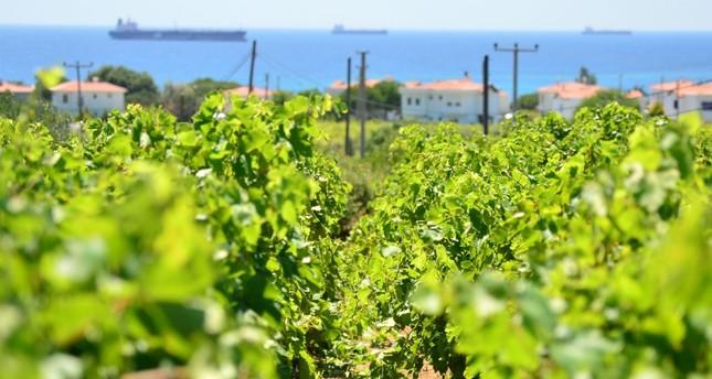 5,000-year-old vineyard in Turkey's Bozcaada (AA Photo)