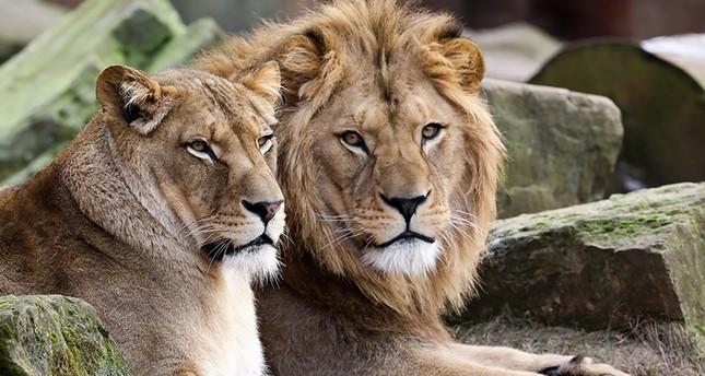نمور وأسود تهرب من أقفاصها في حديقة حيوانات غربي ألمانيا