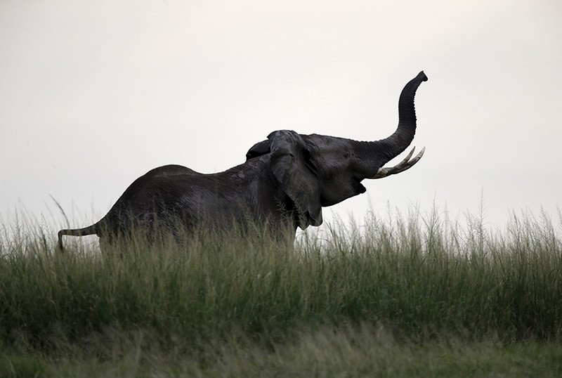 An elephant walks in Amboseli National park, Kenya, February 11,2016 (Reuters File Photo)