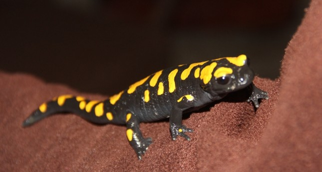 Endangered newts taken under protection in Rize