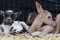 الظبي مع إخوته الماعز