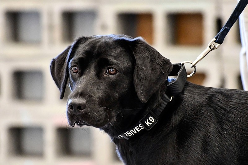 In this image provided by the CIA, young detector dog Lulu, during her initial training as a bomb detector dog (AP Photo)