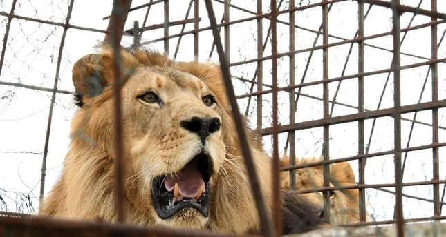 In this file photo taken on October 28, 2018 Zhaku an 11 years old male lion rests in his cage prior animal welfare activists of Four Paws remove him from a private zoo in Fier (AFP File Photo)