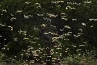 Locust invasion spreads across Horn of Africa