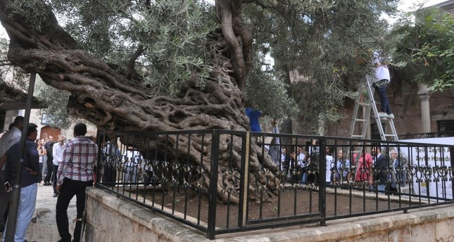 1,350-year-old tree still gives the best olives
