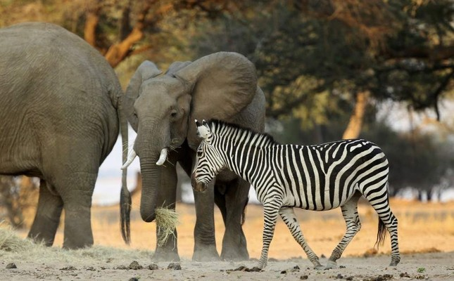 In this Oct, 27, 2019, photo, elephants and zebras feed on hay provided by the Feed Mana project in Mana Pools National Park, Zimbabwe. (AP Photo)
