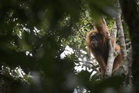 A new species of orangutan has been discovered in the remote jungles of Indonesia, immediately becoming the world's most endangered great ape, researchers said Friday.