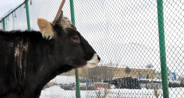 The cow gazes at the fences topped with barbed wire that surrounds its pen.