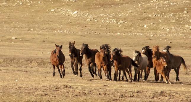 Eynif Plain's yılkı horses to be subject of documentary