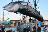 Japan mulls withdrawing from International Whaling Commission to resume commercial hunting