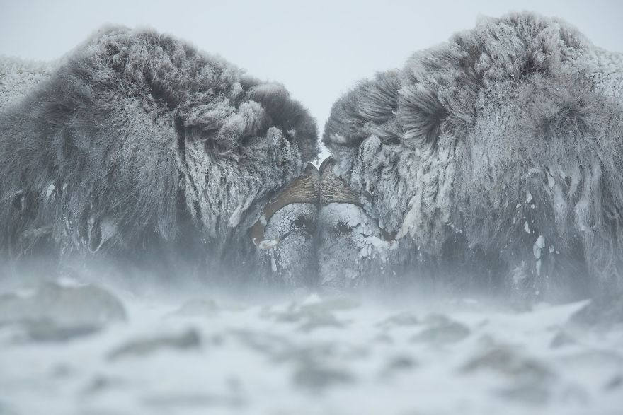 Duel In The Snow - Remarkable Award, Animals In Their Environment