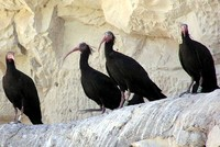 Conservation efforts by Turkish ministries boosts number of endangered ibis by 6 times