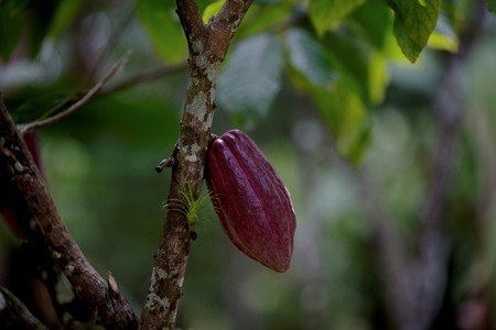 n this April 16, 2015 file photo, a cacao pod hangs from a tree at the Agropampatar chocolate farm co-op in El Clavo, Venezuela. (AP Photo)