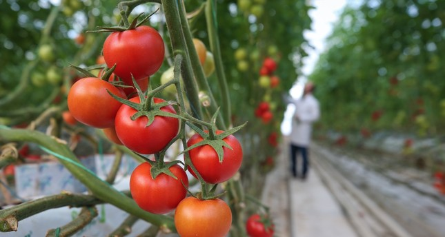 Turkey's tomato sales to Russia increased 14-fold last year