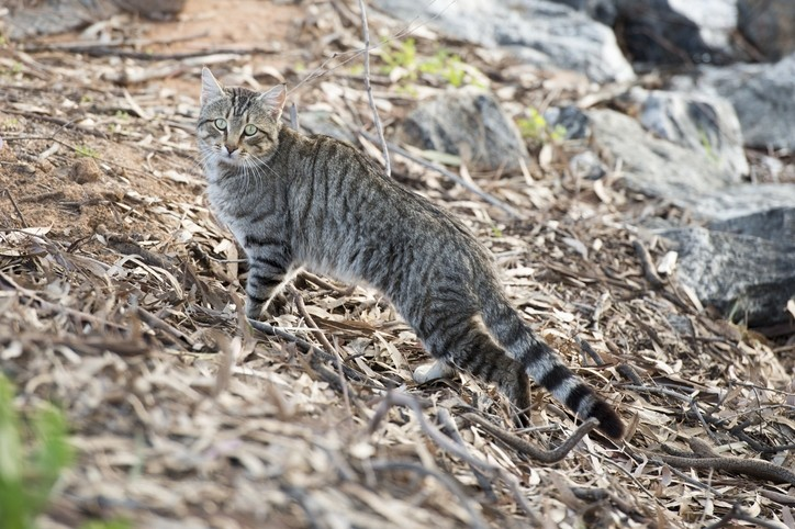 Australia killing millions of feral cats with poison for