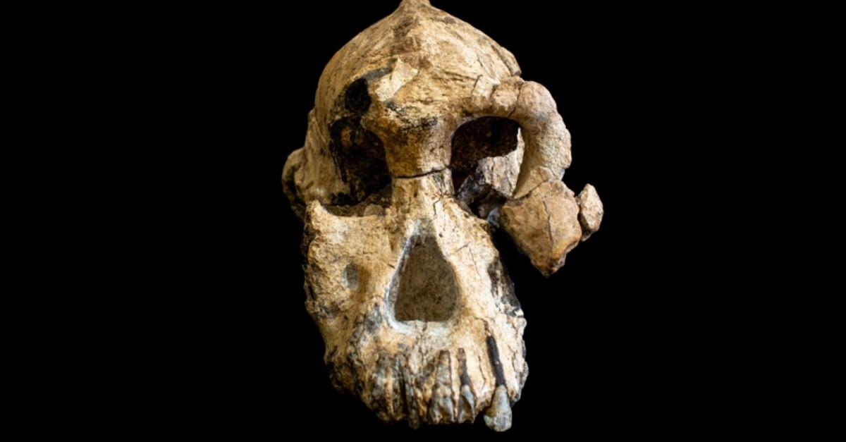 The skull of the species Australopithecus anamensis, a fossil discovered in 2016 in Ethiopia, is seen in this photo released on August 28, 2019, in Cleveland, Ohio, U.S. (REUTERS Photo)