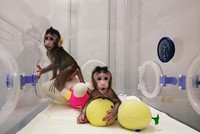 Chinese scientists clone monkeys, breaking barriers to clone humans