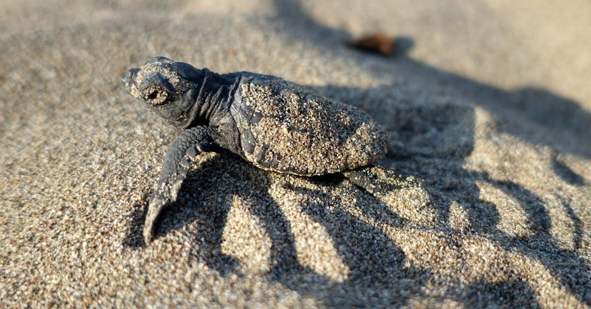 A baby sea turtle heads to sea on a Belek beach, July 26, 2019.