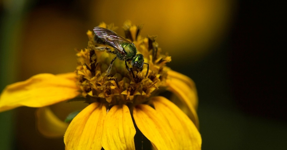 Public domain image of a sweat bee by Alejandro Santillana